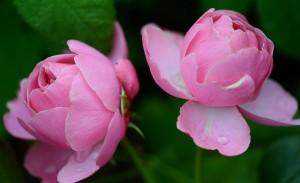 rose-288090_1920
